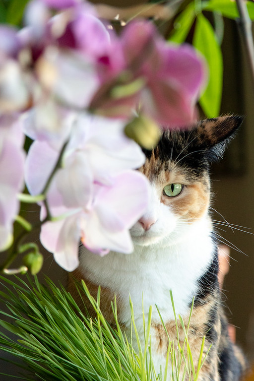 Calico cat halfway hidden behind orchid flowers.