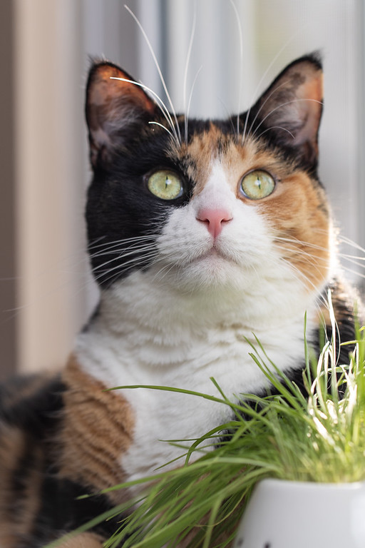 Calico cat and cat grass.