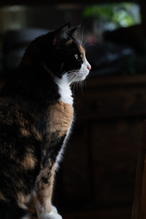 Calico cat looking out window in dark and moody photo.