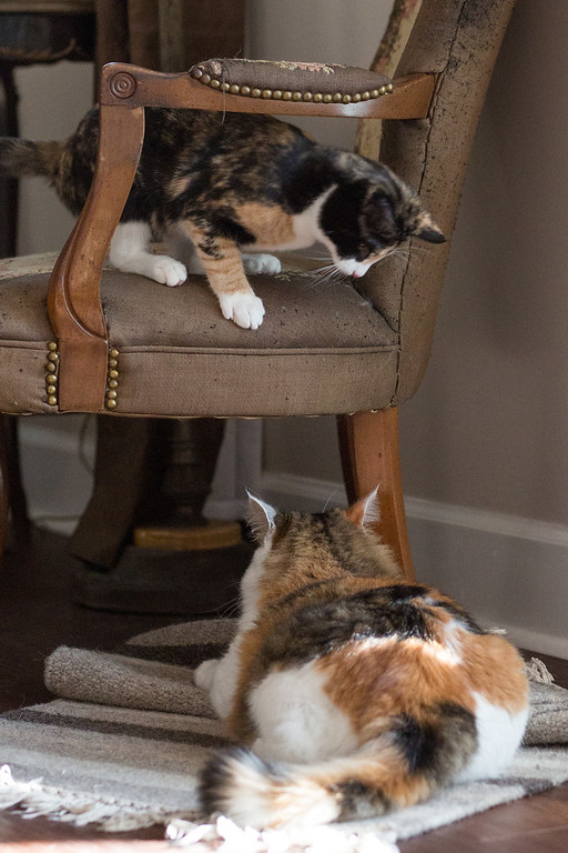 Two calico cats playing.