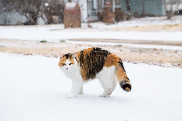 Calico cat in the snow