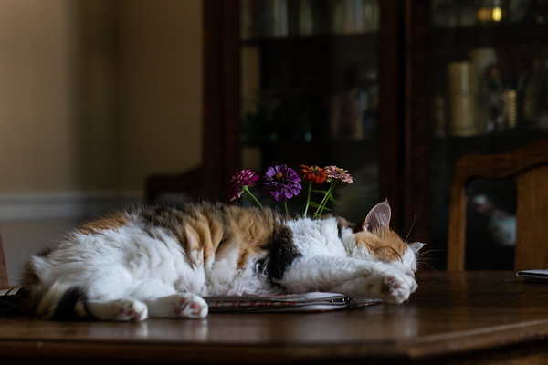 Calico cat laying on dining room table.