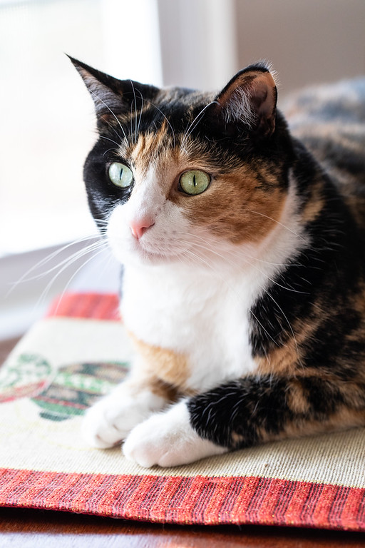 Calico cat on a table.