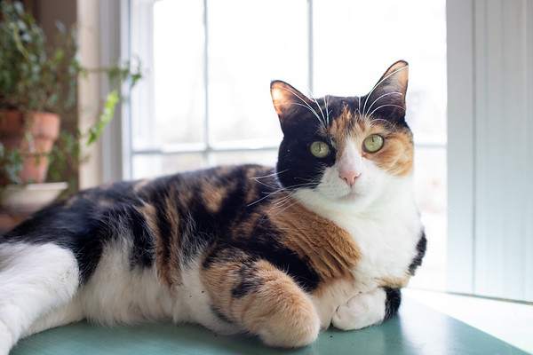 Calico cat on table in front of a window.