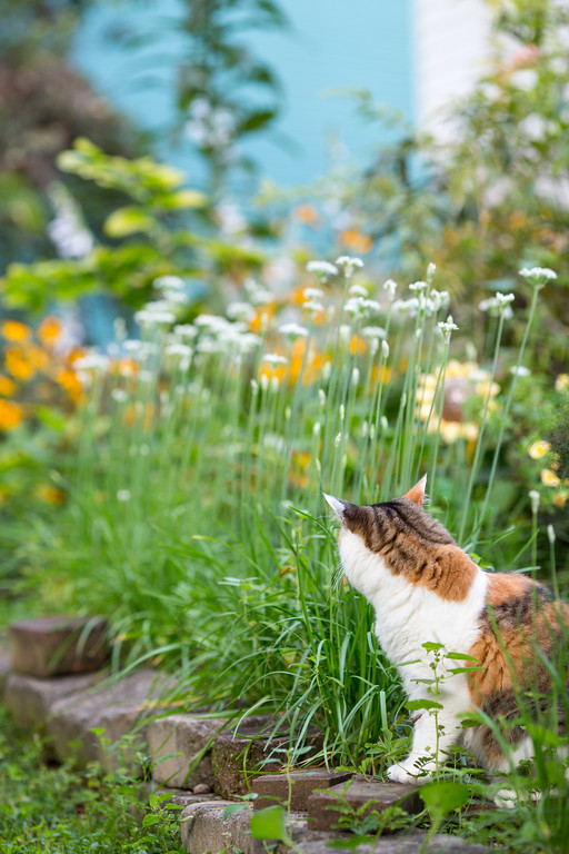 Calico cat out in the flower garden.