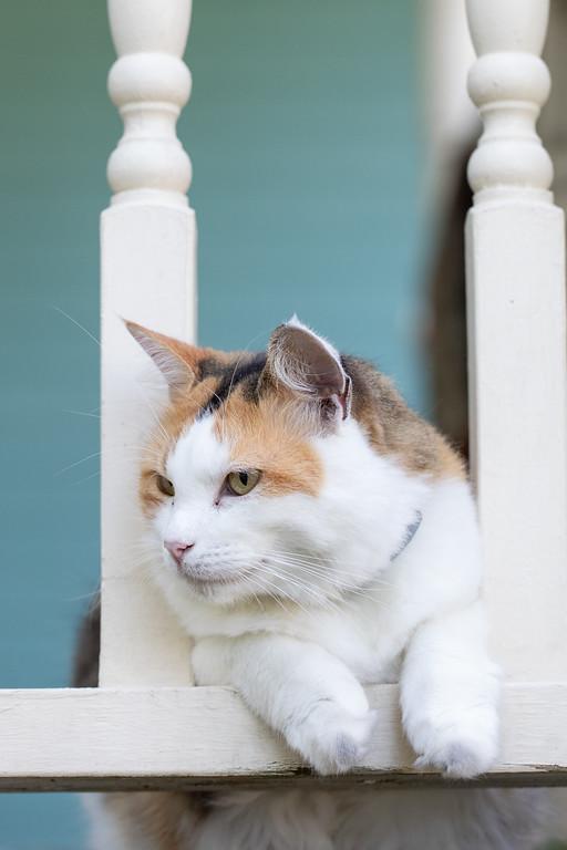Calico cat looking through porch rails.