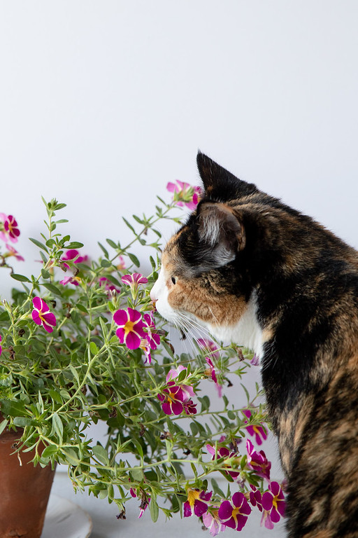 Calico cat checking out pink flowers.