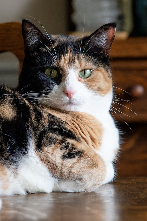 Calico cat on the dining room table