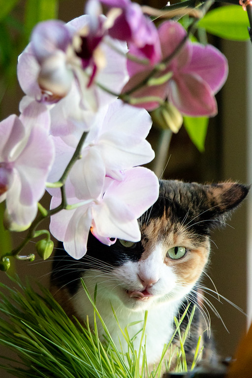 Calico cat with it's tongue out and some cat grass and orchids.