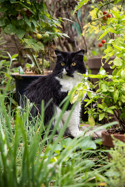 Black and white cat in an herb garden.