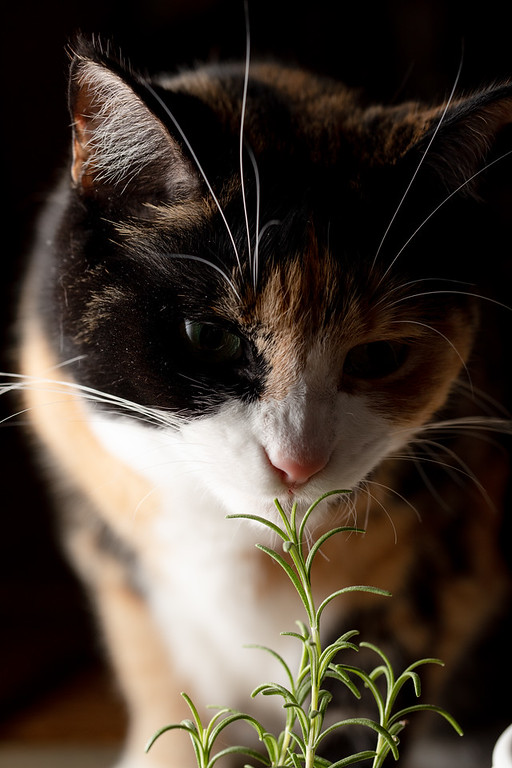 Calico cat sniffing the rosemary!