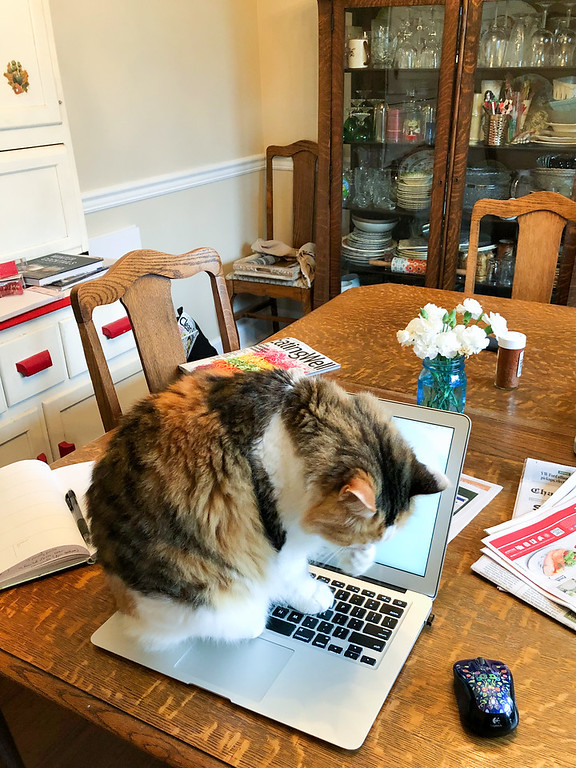 Calico cat on a laptop