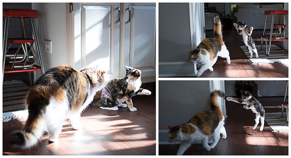 Calico cats playing together