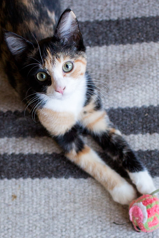 Calico kitten looking up at the camera.
