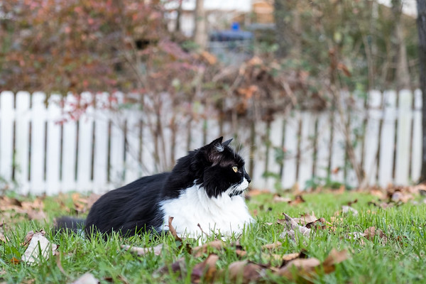 Black and white cat looking off to the side.