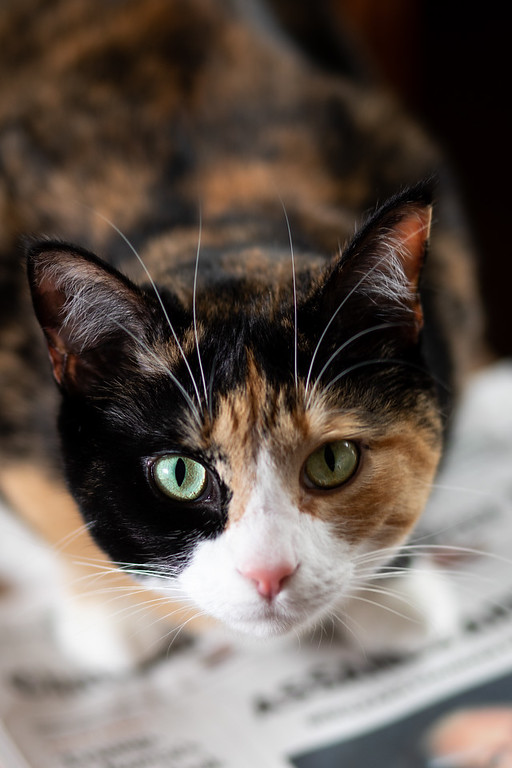 Close up of calico cat looking right at the camera.