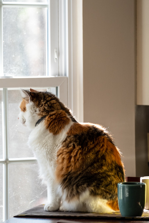 Calico cat looking out a window with sunlight coming in.