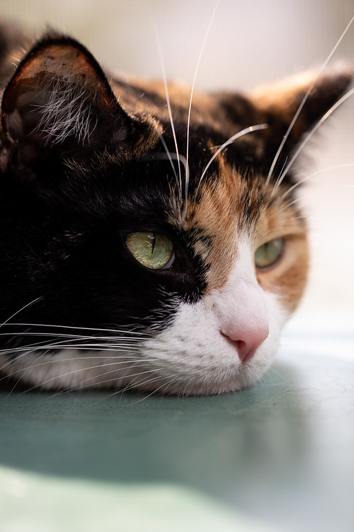 Calico cat with it's head laying on a table.