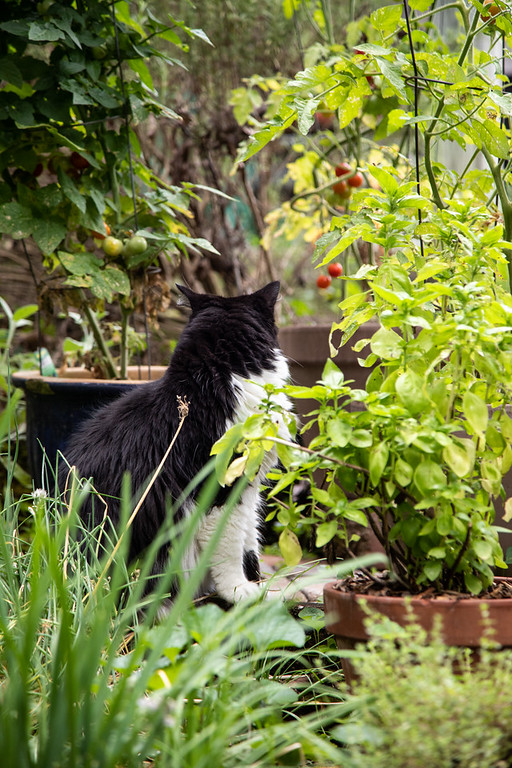 Black and white cat surrounded by herbs and tomatoes in pots.
