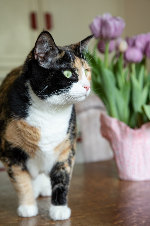 Calico cat with tulips in the background.