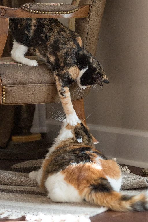 Calico kitten on a chair reaching for a calico cat on the floor.