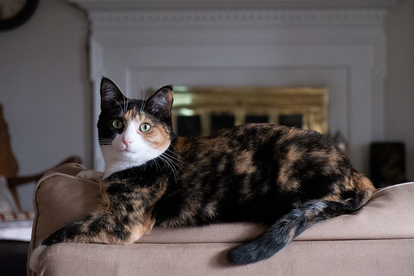 Calico cat on back of loveseat