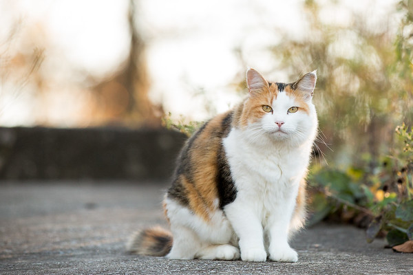 Calico cat on sidewalk