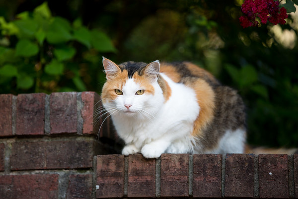 Calico cat on a brick wall