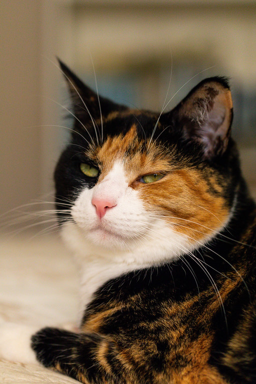 Calico cat frowning.