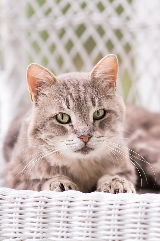 Light gray tabby cat.