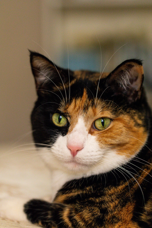 Calico cat not looking at the camera.
