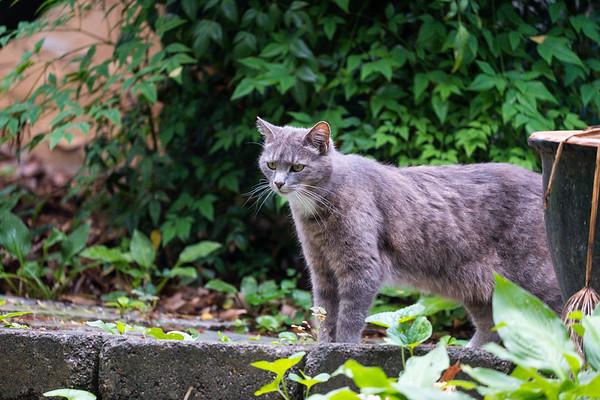 Gray cat on a garden path.