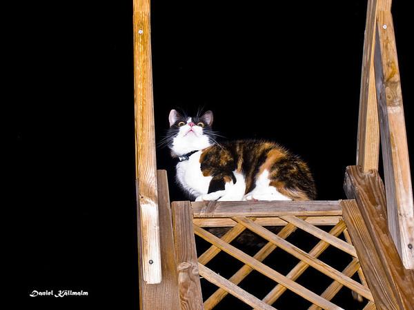 Dictator cat