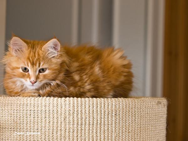 Resting kitten