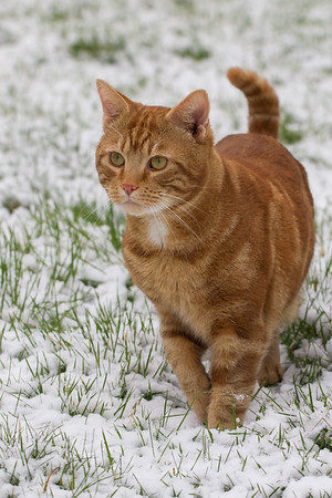 Big Ginger in the snow