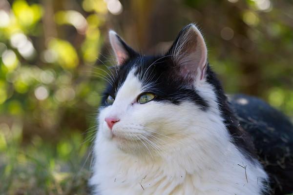 Black & White Kitten