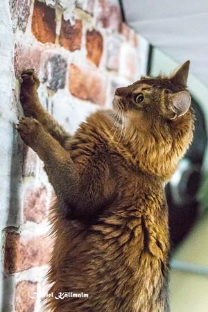 Climbs the wall