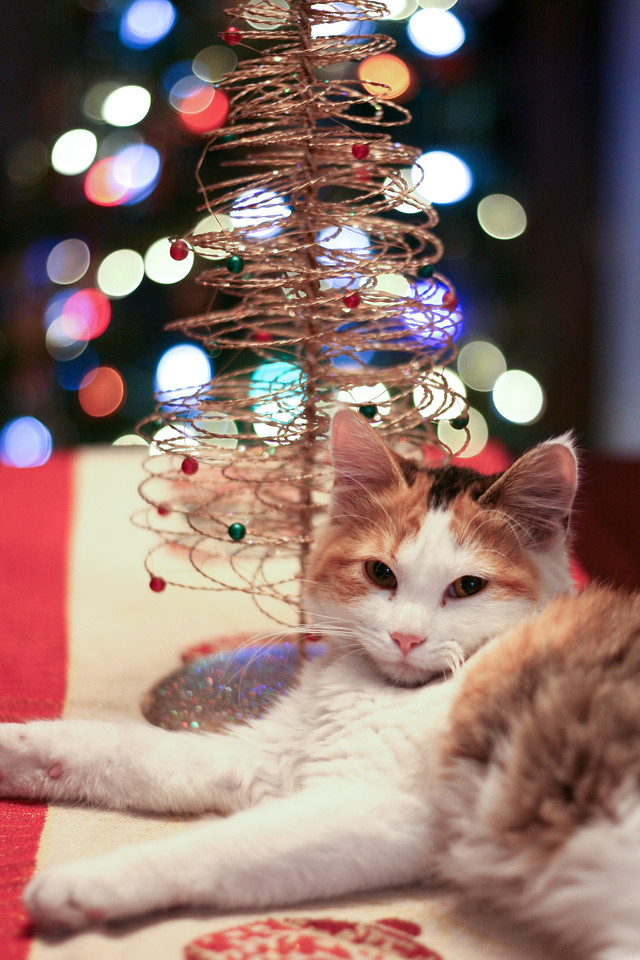 Calico kitten in front of a Christmas tree.