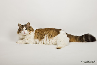 Portrait of a cat posing on a white background.