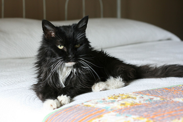 Senior black and white cat on an old iron bed with a vintage quilt.