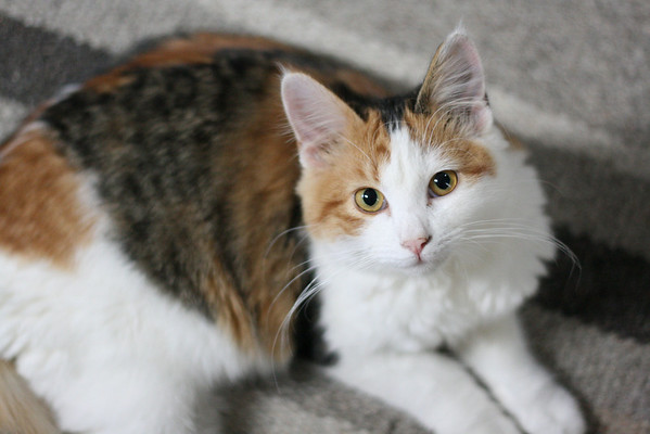 Calico cat on a rug