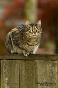 Cat sits  on a fence. Neighbors' cat is staring at photographer.