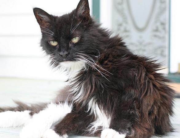 Senior black and white cat