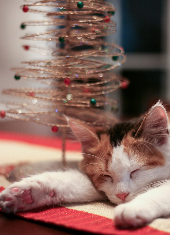Calico kitten sleeping by a little Christmas tree