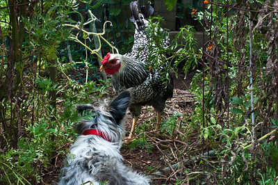 When I decided to get a few hens, I started teaching CA to accept the babies when they were 2 days old.  She had many, many lessons, but my persistence paid off.  She gets along well with the chickens who are grown now.