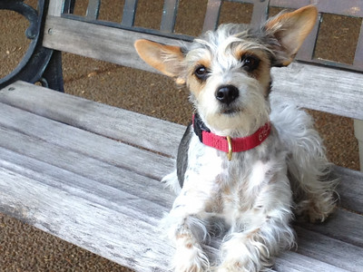 Here she is with a summer trim.  Notice she can lift her left ear when she wants to.
