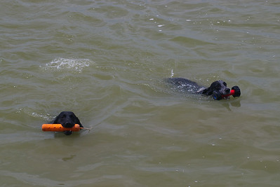 Max (Black Lab) and Chase fetching toys on Lake Shetek.  They both love the water!
