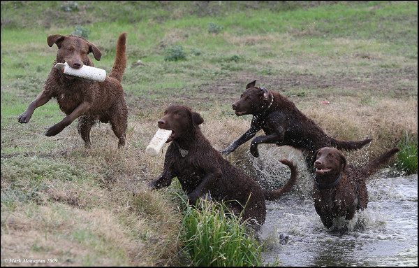 Bodie is teaching the next generation the games that can be played in the field.  Rio (in the front with the bumper coming out of the water), Doc (running in the water), and sister Pearl (bringing up the rear), while Bodie teases the youngsters with his own bumper.