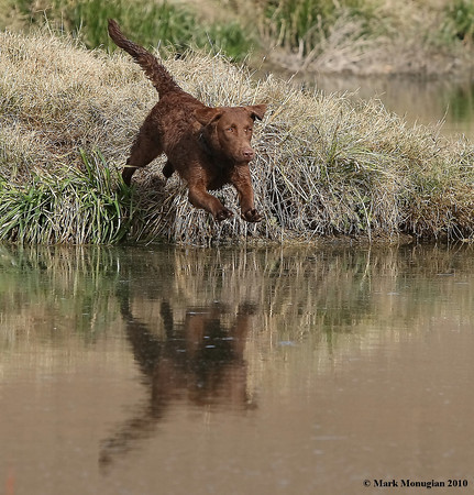 One of Docs first leaps into the water.  He is focused on his bumper to retrieve.