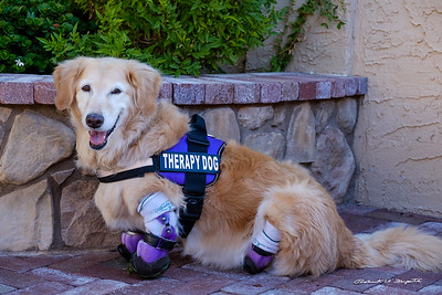 I am now a certified Therapy Dog and visit hospitals and rehab centers.
